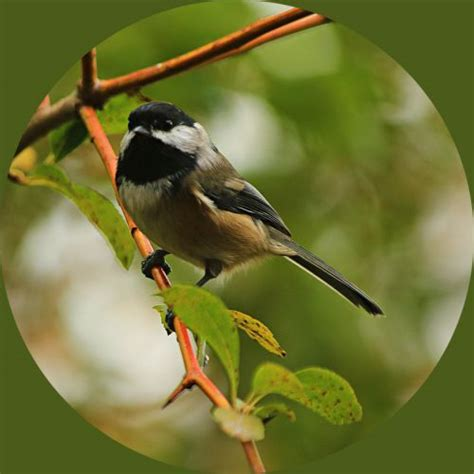 birds of the pacific northwest 2 feederwatch