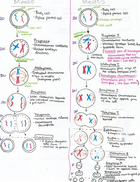 mitosis vs meiosis revision cards in a level and ib biology