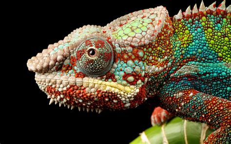 Colourful Animal Wallpaper - animals chameleons colorful wallpapers hd desktop and