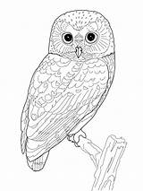 Owl Coloring Pages Printable Birds Folder sketch template
