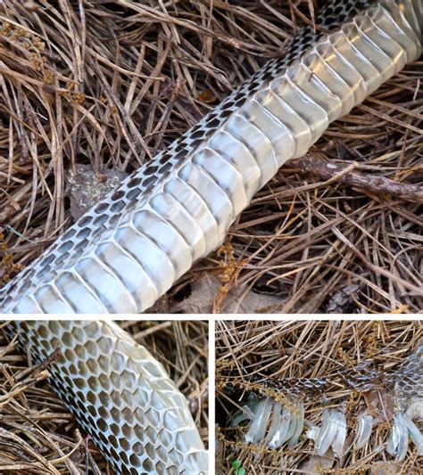 shedded snake skin preservation a in the march woodlands deb s garden deb s
