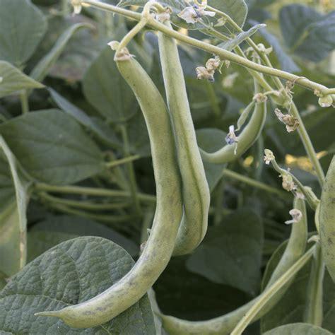 contender bean bush seeds seed packet beans bulk farms everwilde lb mylar