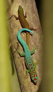 Neon green gecko key to preventing Mauritian plant extinction