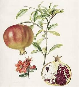 Pierre Jean François Turpin (1775-1840) Punica granatum L ...