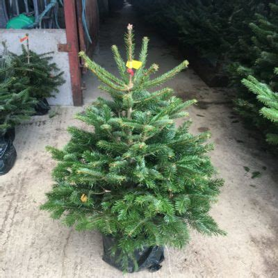 christmas trees for sale near me pot grown trees for sale send me a tree
