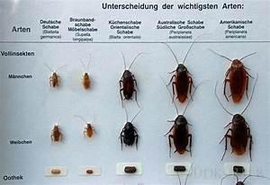 Schaben In Der Wohnung : schabenbek mpfung kakerlaken kammerj ger ~ Eleganceandgraceweddings.com Haus und Dekorationen