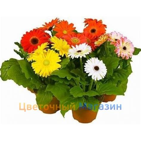 gerbera in pots to buy indoor flower quot gerbera in a pot quot in flower shop flower shop delivery beautiful