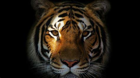 tiger face hd wallpaper wallpaper studio  tens