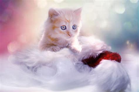 gambar kucing comel  manja anak kucing lucu
