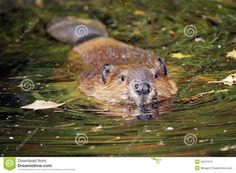 Swimming Beaver Stock Photo  Image 45211276
