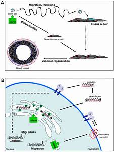 Over-Expression of HSP47 Augments Mouse Embryonic Stem ...