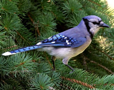 blue jay songs and calls larkwire