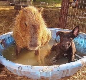 Capybara and Dog | Doggone Cute | Pinterest