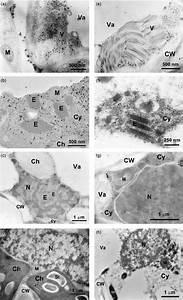 Electron Micrographs Of Immunogold