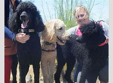 Oodles of Standard Poodles Play Group & Social Emeryville
