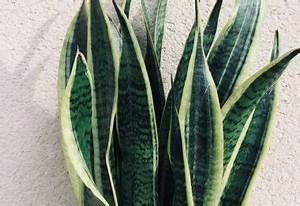 Arrosage Aloe Vera : l 39 aloe vera entretien arrosage exposition ~ Nature-et-papiers.com Idées de Décoration
