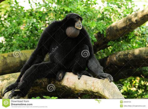 siamang gibbon monkey stock photo image  gibbon