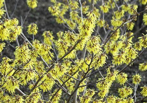 Botanischer Garten Berlin Im März by Hamamelis Intermedia Westerstede Gelbe Zaubernuss Im