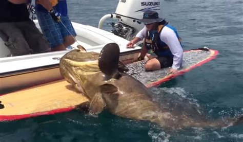 goliath grouper pound angler paddleboard catches outdoorhub 1000