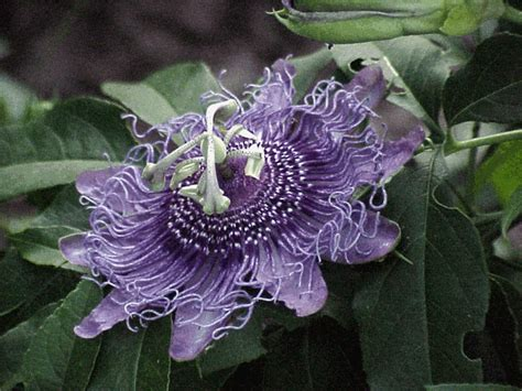 Passion Flower Vine Central Texas