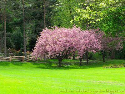 japanese redbud tree photos brueckner rhododendron gardens chestnut redbud weeping cutleaf beech japanese cherry maple
