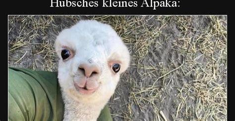 huebsches kleines alpaka lustige bilder sprueche witze