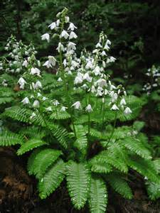 White Flowers with Fern-Like Plant