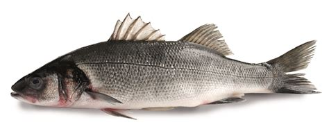 sea bass fish seabass pictures to pin on pinterest pinsdaddy