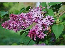 Lila la flor que cura la presión arterial alta y relaja