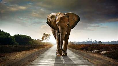 Hdr 4k Elephant Road Walking Wallpapers Animals