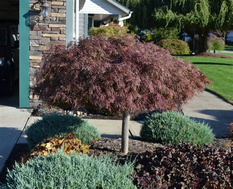 how to plant a japanese maple tree outdoor garden design mesmerizing japanese maple bloodgood for garden plant ideas jones