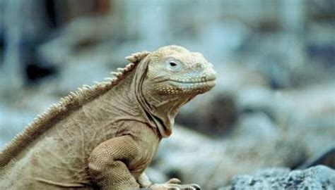 lizard  animal  darwin study animals momme
