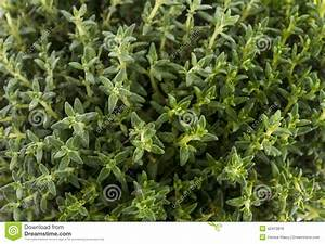 Thyme leaves stock photo. Image of natural, nature ...