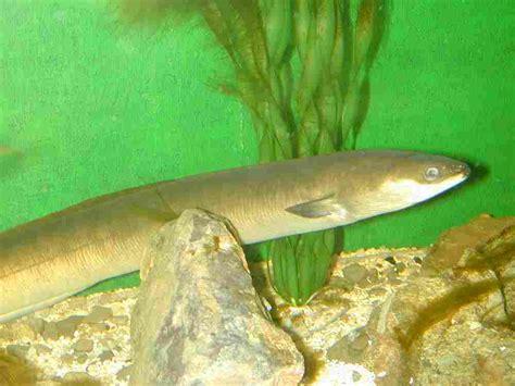 cuisiner une anguille anguille dictionnaire des sciences animales