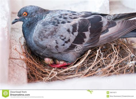 pigeon feeding stock image image 33874071