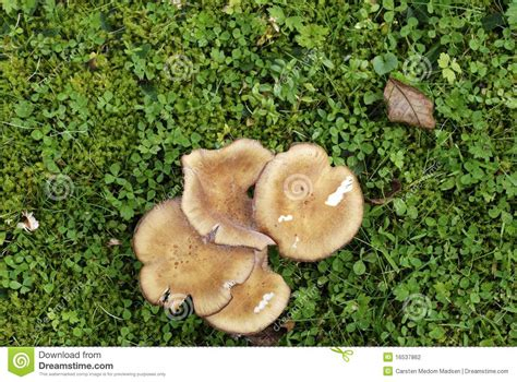 Hallimasch Pilze Im Garten by Chignons De Couche Dans La Pelouse Photographie Stock