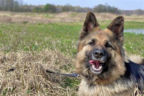 german shepherd leash training   train  walk