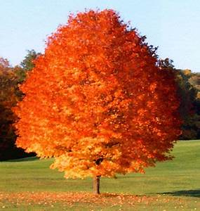 Best 25+ Red maple tree ideas on Pinterest Japanese red