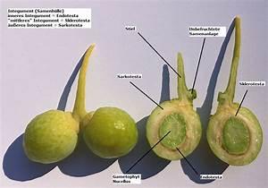 Ginkgo Samen Kaufen : botanik ein einsamer berlebender der ginkgoales ginkgo ~ Lizthompson.info Haus und Dekorationen