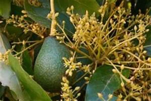 Avocado Baum Pflege : avocado umtopfen so geht 39 s ~ Orissabook.com Haus und Dekorationen