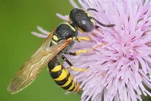 Bienen Und Wespen : hautfl gler bienen hummeln wespen und ameisen nabu ~ Whattoseeinmadrid.com Haus und Dekorationen