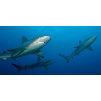 Beautiful African Animals Safaris: Great White Shark