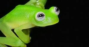 Kermit  New Species Of Glass Frog Found