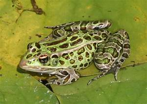 Another Frog on a Lily Pad by parrotdolphin on DeviantArt