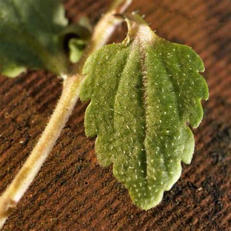 http://luirig.altervista.org/flora/taxa/index1.php?scientific-name=veronica+agrestis