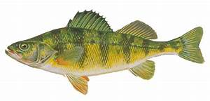 Fishes Of Wisconsin - Yellow Perch