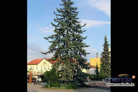 types of live christmas trees photos pics 229391