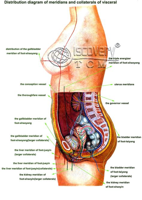 Internal organs are linked together to form a system that has one or more major roles. Picture Of Internal Organs From The Back - picture of