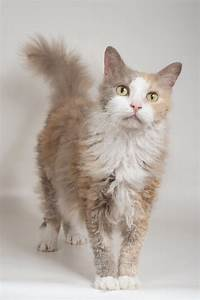 Cats La : laperm cat breed information pictures characteristics facts ~ Orissabook.com Haus und Dekorationen