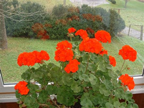 geranium indoors geraniums indoors in november geraniums pinterest